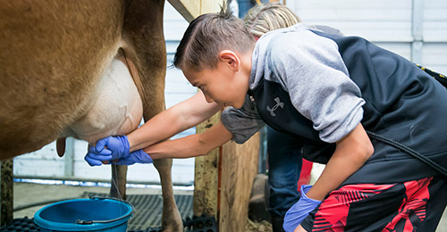 Students milking cow